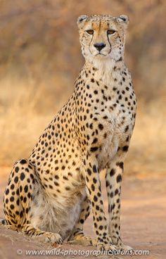 African Photographic Safaris: Hunters the Cheetah - Big Cat Reserve 3 Lions, Cheetahs, Leopards, Big Cats, Safari, African, Hunters, Animals, Group