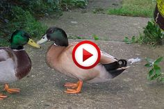 Grandmother To Train A Flock Of Ducks Video #birds, #funny, #Russia, #WTF, #videos, https://apps.facebook.com/yangutu