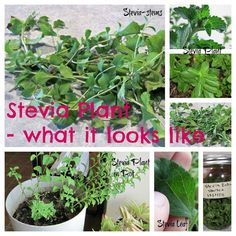Home Ideazz: How to Grow & Use Stevia Plant for Natural Sweetening