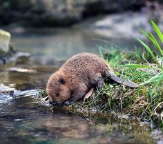 cute baby beaver just came to get a drink of wate