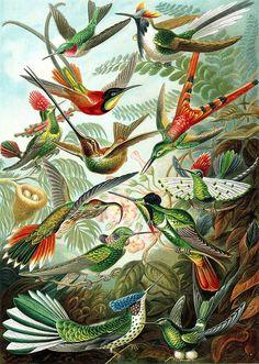 Hummingbirds (Trochilidae) by Ernst Haeckel from his Kunstformen der Natur, 1899