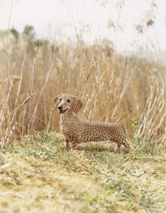 """This is probably photoshopped, but it was labeled """"fastest animal on the planet"""", probably linking a cheetah and leopard with a doxie-We all know that they could have just stuck with a doxie and still have been right:)."""