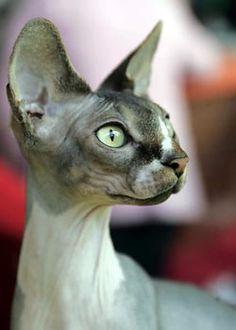 Canadian Sphynx hairless cat by Bob_2006, via Flickr