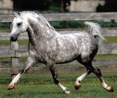 Dappled grey horse... My favorite horse coloring!