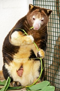 An Endangered Matchie's Tree Kangaroo has begun to peek out of its mother's pouch at Zoo Miami. Though it is just now exposing itself, this joey is believed to have actually been born approximately 5 months ago.