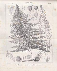 v. 4 - Mémoires sur la famille des fougères. - Biodiversity Heritage Library