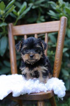 #YorkshireTerrier #Yorkie #Charming #PinterestPuppies #PuppiesOfPinterest #Puppy #Puppies #Pups #Pup #Funloving #Sweet #PuppyLove #Cute #Cuddly #Adorable #ForTheLoveOfADog #MansBestFriend #Animals #Dog #Pet #Pets #ChildrenFriendly #PuppyandChildren #ChildandPuppy #LancasterPuppies www.LancasterPuppies.com Animals Dog, Cute Animals, Lancaster Puppies, Yorkshire Terrier Puppies, Yorkie Puppy, Puppies For Sale, Mans Best Friend, Puppy Love, Leo