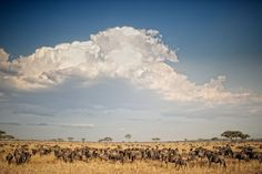 There are so many ways to see the Great Wildebeest Migration in East Africa. You can book a balloon safari, a safari at one of the many camps, or a walking safari