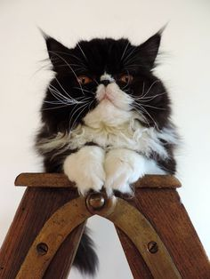 Berlioz on www.yummypets.com Cat, kitten, kitty, meow, purr, pussycat, animals, pets, whiskers, Yummypets