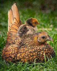 Golden laced wyandot chicken