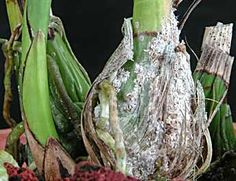 Scale Insect Pests On Cattleya Orchid Leaf With Ants And
