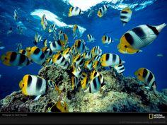 Tapety National Geographic, žlutá ryba, zvířata, moře, skály ...