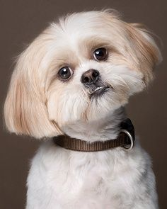 Temperament and Personality of Shih Tzu Dogs