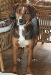 Katie is an adoptable Hound Dog in Evans, WV. Katie has been in foster care with ARF getting healthy and ready for a home. The shelter had been trying to catch her, but she wasn't easy to get. Every...