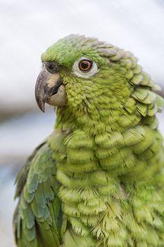 Green parrot II by Tambako the Jaguar on Flickr.
