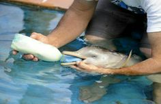 Bottle fed baby dolphin