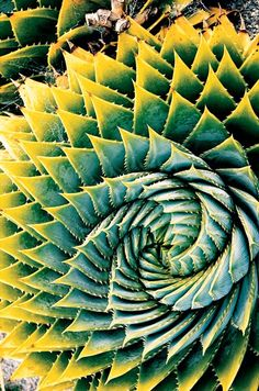 """Seonacherie Sande (Little Canada, MN)  Photographed March 2001, South Island, New Zealand    Upon entering a New Zealand greenhouse, Sande was immediately attracted by the """"textures and patterns"""" of the resident aloe vera plants."""