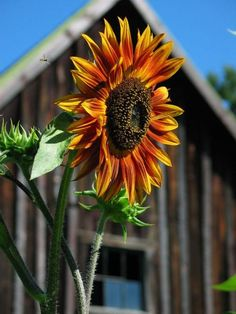 Country Orange with sunflower and old barn Happy Flowers, My Flower, Beautiful Flowers, Sun Flowers, Sunflower Garden, Sunflower Art, Sunflower Patch, Sunflowers And Daisies, Sunflower Pictures