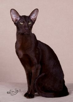 Azorez Mirrormere of SiamJewels Chocolate Oriental Shorthair My new furbaby, Mimi is at her forever home Pretty Cats, Beautiful Cats, Chat Oriental, Kittens Cutest, Cats And Kittens, Oriental Cat Breeds, Oriental Shorthair Cats, Balinese Cat, Ugly Cat