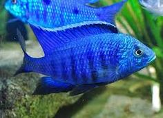 Copadichromis azureus Tropical Aquarium, Planted Aquarium, Tropical Fish, Malawi Cichlids, African Cichlids, Fish Stock, Freshwater Aquarium Fish, Water Life, Pisces