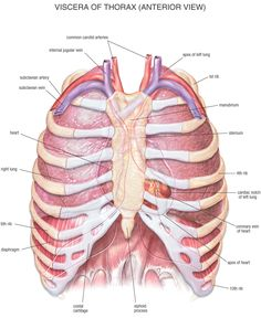 The chest, also known as the thorax, consists of 25 bones in the human body. These bones are the sternum and the ribs. http://www.learnbones.com/chest-bones-anatomy/