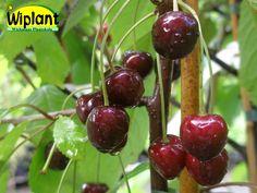 Prunus avium 'Meelika', Sötkörsbär.  Estnisk sort.  Medelstora-stora bär.  Mognar i början på juli.  Självpollinerande. Zon II-?