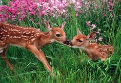 johnny's blog — gardenofgod: Roe Deer Fawns in Spring Meadow, by...