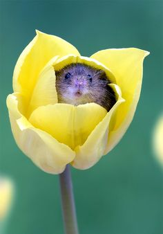 Photographer Tiptoes Through The Tulips To Shoot Harvest Mice, And The Result Will Make Your Day | Bored Panda