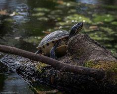 Some kind of Basking Turtle... This behavior seems unmistakable. Arlie Gardens, Wilmington, North Carolina.