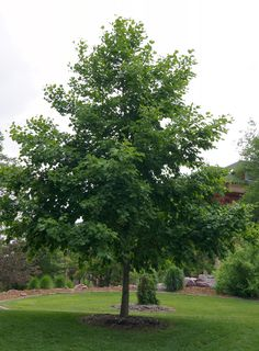 The most drought tolerant alder evaluated in NDSU trials. Rapid-growing, medium-sized tree with lush dark green leaves. Bark is gray and beech-like.  Purple catkins and clusters of brown, cone-like fruit add interest to the tree throughout winter. Available in nursery trade. Tree mulching recommended. Prairie Horizon® will reach a height of 25 feet in 18 to 20 years.