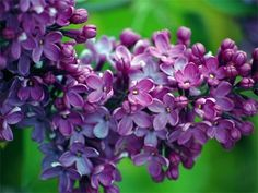Lilacs make me happy. My parents have a lilac bush and I looked forward to the blooms every spring.