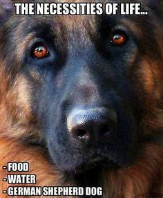 Black German Shepherd dogs mix has resulted in other breeds of dogs like Pugs, Collies, Huskies, and more.This brings out best qualities of both dog breeds. Big Dogs, I Love Dogs, Berger Malinois, Canis Lupus, Motivacional Quotes, Funny Quotes, German Shepherd Puppies, German Shepherds, Beautiful Dogs