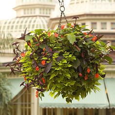 Disney's hanging baskets.