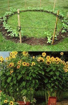 42 Brilliant Gardening Ideas To Inspire You – Sunflower house Sunflower house, Sunflower garden, Gar Sunflower House, Sunflower Garden, Sunflower Seeds, Sunflower Ring, Mammoth Sunflower, Sunflower Patch, Dream Garden, Home And Garden, Cut Garden