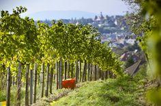 Grape Harvest @ our Viennese Vineyards! Vienna, Harvest, Vineyard, Destinations, Outdoor, Wine, Garten, Pictures, Outdoors