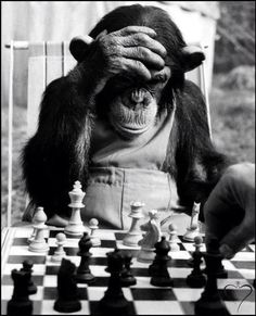 Stock Photo - The Champion Chimps. Pepe, the chess champion of Chimp Town, gets in some serious practice before this year's big games. Primates, Black White Photos, Black And White Photography, Chess Strategies, Funny Animals, Cute Animals, Stavanger, Tier Fotos, Mundo Animal