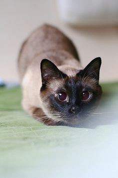 cross eyed siamese - Google Search