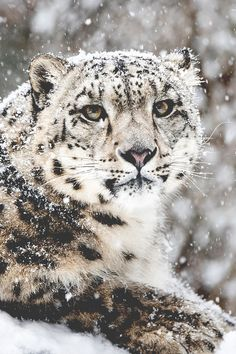 Snow Leopard in Snow Storm by Abeselom Zerit