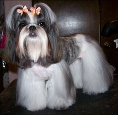 Roxy Shih Tzu...wearing Butterfly Dog Bows by Doggie Bow Ties