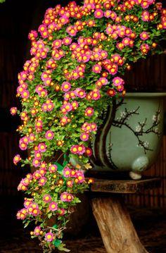 "indigodreams: "" collectorandco: bonsai / 菊盆栽 """