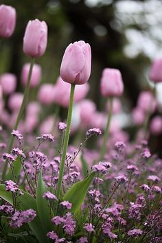 The small pink flowers tone down the green and bring out the pink tulips. Anyone know what plant these pink flowers are? Tx in advance ♥ (pink version of forget me not) Flowers Nature, Spring Flowers, Beautiful Flowers, Simply Beautiful, Beautiful Images, Pink Tulips, Tulips Flowers, Flowers Pics, Daffodils