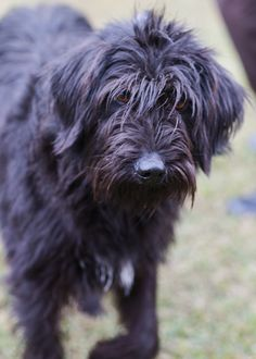 Black Russian Terrier • Adult • Female • Large Patrick County Animal Pound Stuart, VA