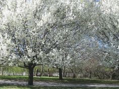 these beautiful trees in bloom  line a friends driveway. Too bad they don't last!