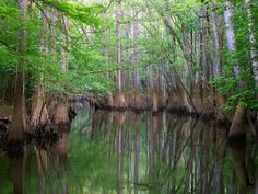 Hikers exploring Congaree National Park in South Carolina often visit tree-lined Cedar Creek in hopes of spotting otters and herons. The eerie canoe trail slips through sunless channels of brown water.  (Photograph by Altrendo Travel/Getty Images)