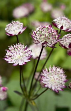 Astrantia major 'Star of Passion'. Find more astrantia here: http://www.gardenersworld.com/plants/search/name/astrantia/ Photo by Sarah Cuttle