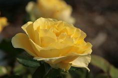 Minnesota Landscape Arboretum  Rose Garden  Rose: Walking in Sunlight  Taken: 08/03/2012  Season: Summer