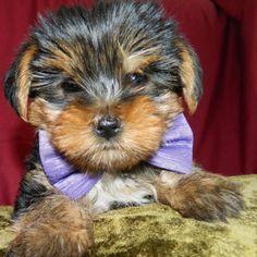 Andrei - Yorkshire Terrier (6)