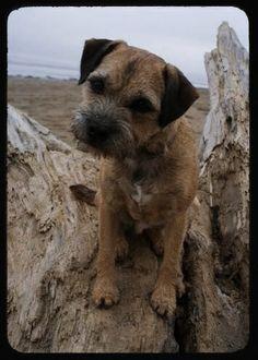 My rehomed Border Terrier from Border Terrier welfare - beloved!