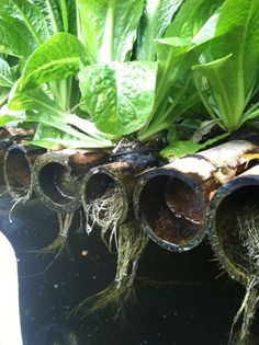 AquaBiotic Systems Bamboo Raft, growing food from bamboo.