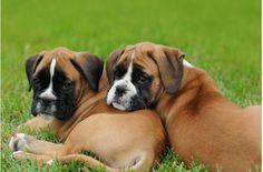 Adorable Boxer puppies!!